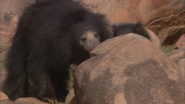 A sloth bear cub rides on its mother's back, gets off, and then tries to climb back on again.