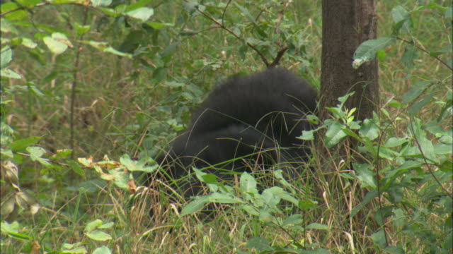 A sloth bear pops up from the forest undergrowth in Pench, India.