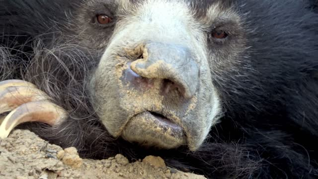 vidéos et rushes de sloth bears, also known as dancing bears have been among the most horribly abused animals on earth. exploited for their ability to perform and earn... - dancing bear