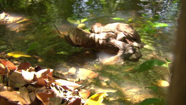 vídeos de stock e filmes b-roll de sloth carrying a baby on its back in swamp - preguiça conceito