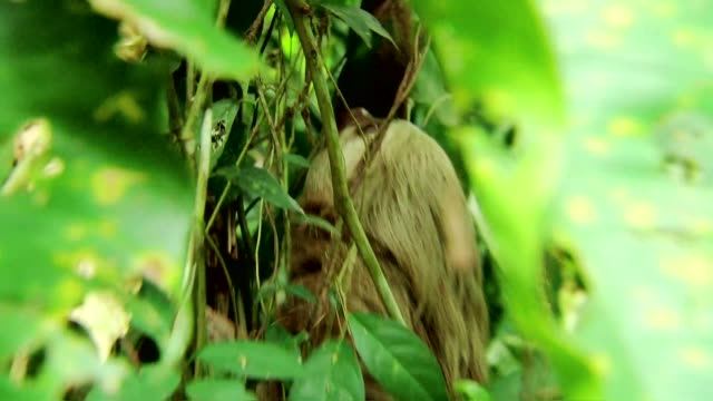 sloth climbing tree - tropischer baum stock-videos und b-roll-filmmaterial