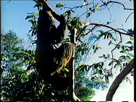 1980 ms sloth climbing up tree / audio - zoologia video stock e b–roll