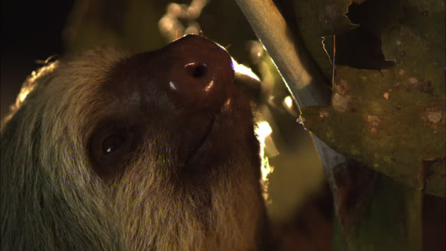a sloth clings to a tree trunk. - tree trunk stock videos & royalty-free footage