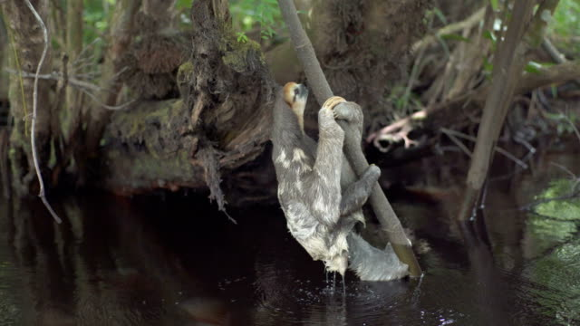 sloth coming out of water and climbing on a tree. tropical rainforest - mammal stock videos & royalty-free footage