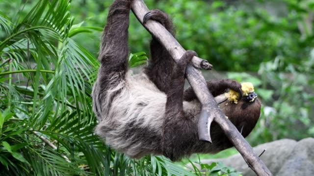 Sloth eating on tree