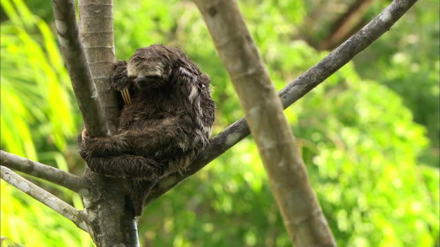 Sloth embracing baby and resting on branch