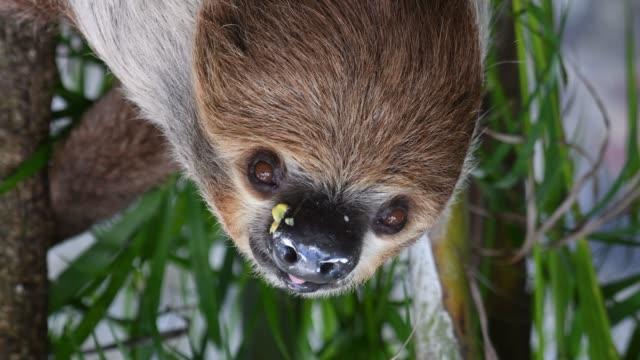 vídeos de stock e filmes b-roll de sloth face close-up - preguiça conceito