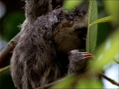 vídeos de stock, filmes e b-roll de a sloth feeds on the leaves of a tree. - comida e bebida