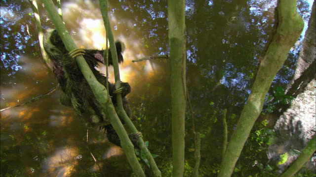 sloth hanging bamboo on swamp - faulheit stock-videos und b-roll-filmmaterial
