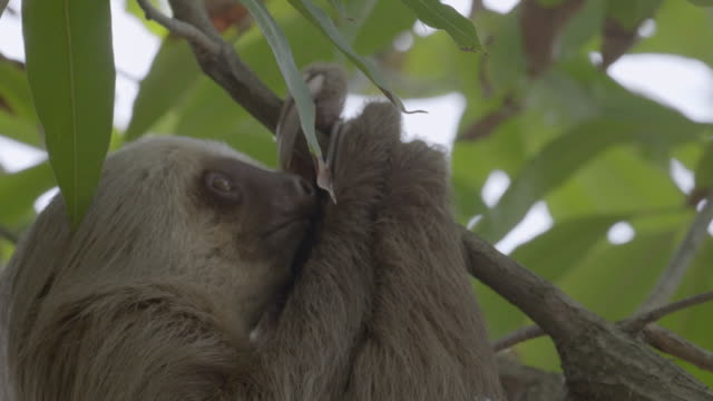 CU TU TD Sloth hanging from tree / Punta Culebra Nature Center, Panama