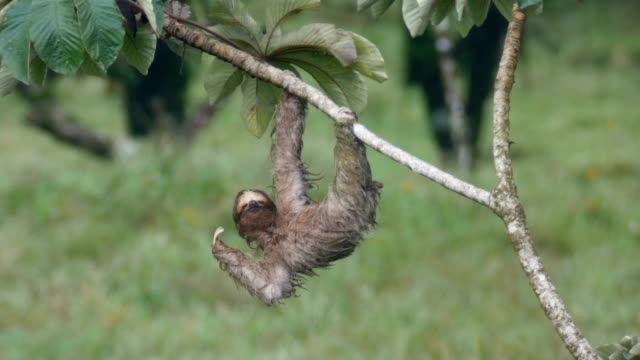 stockvideo's en b-roll-footage met a sloth hangs from a tree branch and sleeps in tropical forest - hangen