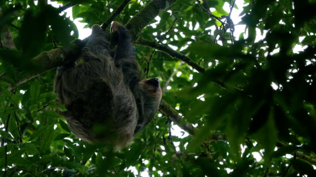 a sloth hangs from a tree branch and sleeps - laziness stock videos & royalty-free footage
