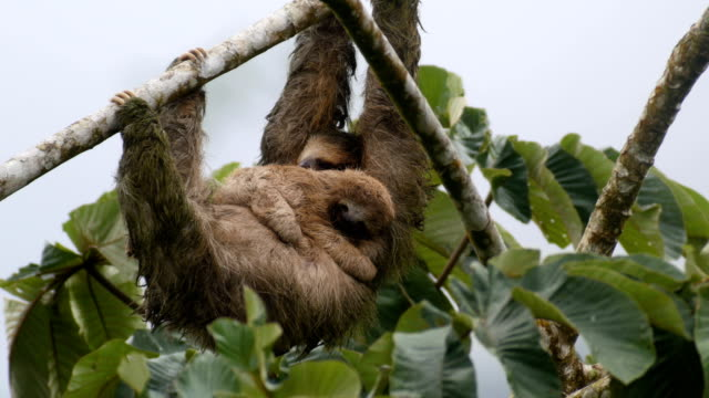 a sloth hangs from a tree branch and sleeps - two animals stock videos & royalty-free footage