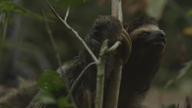 vídeos de stock, filmes e b-roll de sloth in rainforest, medium shot - animals in the wild