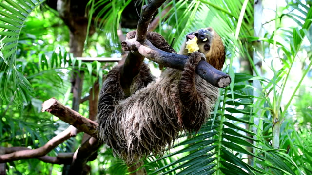 sloth in tree - laziness stock videos and b-roll footage