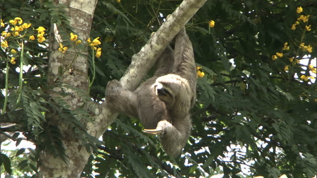 a sloth looks like it is applauding while hanging from a tree. - cute stock videos & royalty-free footage