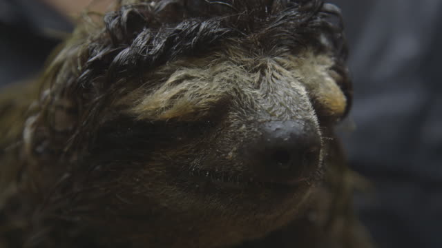 sloth relaxing in rainforest, close-up - tired stock videos & royalty-free footage