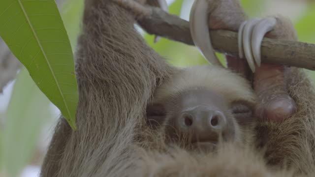 vídeos de stock e filmes b-roll de cu sloth sleeping on tree / punta culebra nature center, panama - preguiça conceito