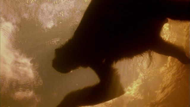 vídeos de stock, filmes e b-roll de sloth swimming underwater - animal selvagem
