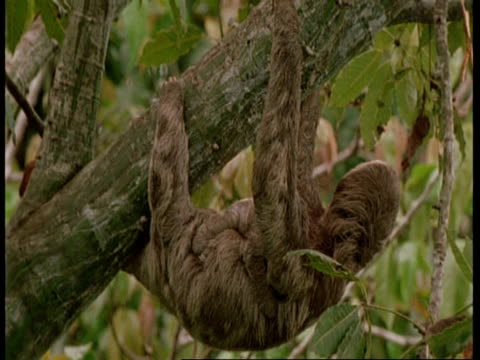 vidéos et rushes de mcu sloth with young hanging from tree, south america - mammifère
