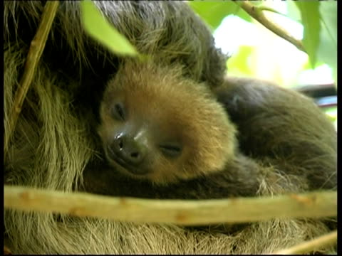 sloths in tree, mother and baby, cu, panama, central america - animal family stock videos & royalty-free footage