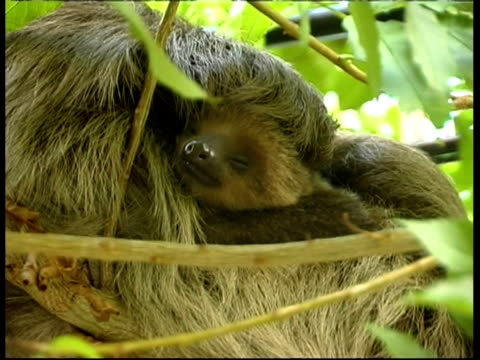 sloths in tree, mother and baby, cu, panama, central america - young animal stock-videos und b-roll-filmmaterial