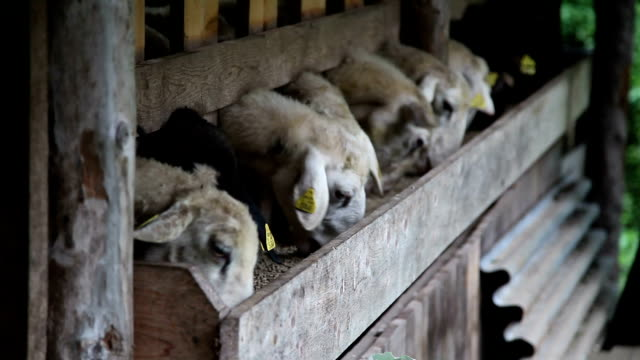 slovenia, upper carniola, bovec, sheep feeding in the fold - mittelgroße tiergruppe stock-videos und b-roll-filmmaterial