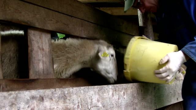 slovenia, upper carniola, bovec, sheep that are fed into the fold - solo uomini maturi video stock e b–roll