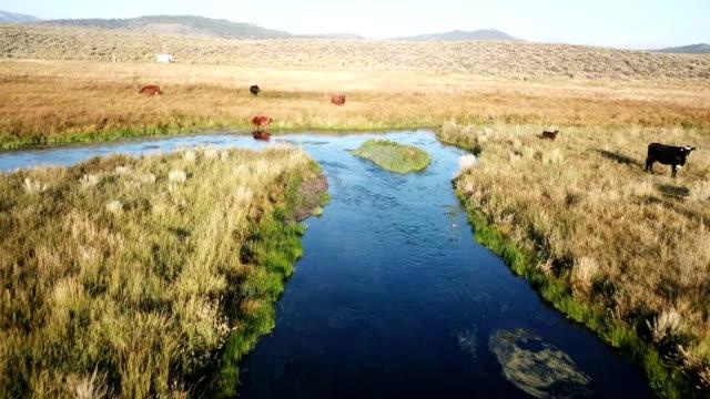 vídeos de stock, filmes e b-roll de abordagem lenta vacas bebendo da margem do rio na califórnia - áspero