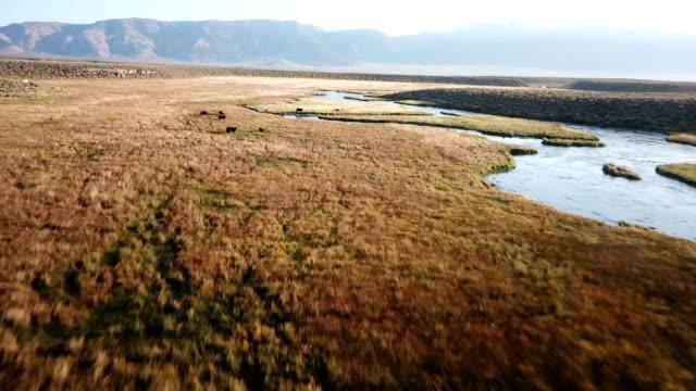 slow descend to cows grazing in deep red grassy plain along river - pianura video stock e b–roll
