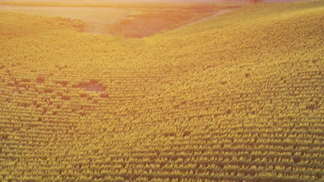 Slow Drone Flight Over Grapes Growing in California Vineyard