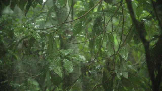 Slow high speed pan of rain on tropical forest leaves
