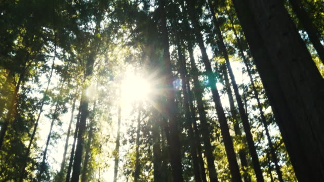 slow horizontal pan of lens flare on redwood trees in forest - sequoia stock videos & royalty-free footage