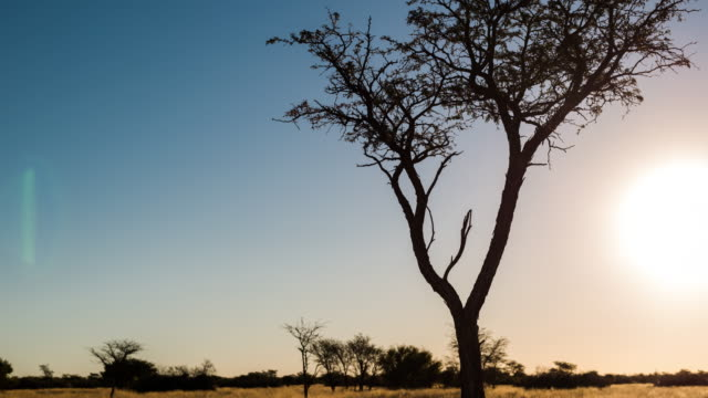 vídeos y material grabado en eventos de stock de a slow linear sunset timelapse of an abstract silhouetted acacia tree in a typical kalahari landscape setting with tall grass blowing in the wind while the sun is setting against a blue and blown out sky - desierto del kalahari