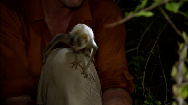 a slow loris clings to a naturalist's knee. - naturist stock videos & royalty-free footage