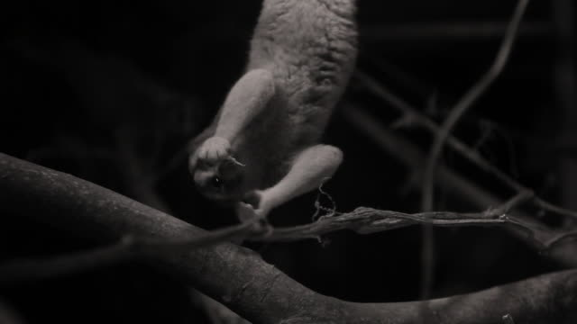 slow loris hangs upside down and grabs cricket from branch beneath it. - upside down stock videos & royalty-free footage