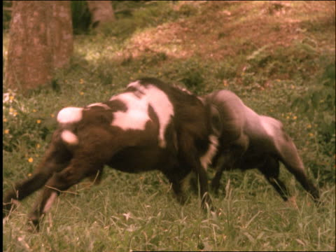 slow motion 2 rams butting heads in traditional competition / garut / west java / indonesia - pflanzenfressend stock-videos und b-roll-filmmaterial