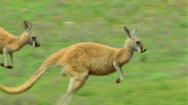 slow motion PAN 2 red kangaroos jumping in field / Flinders Ranges, South Australia