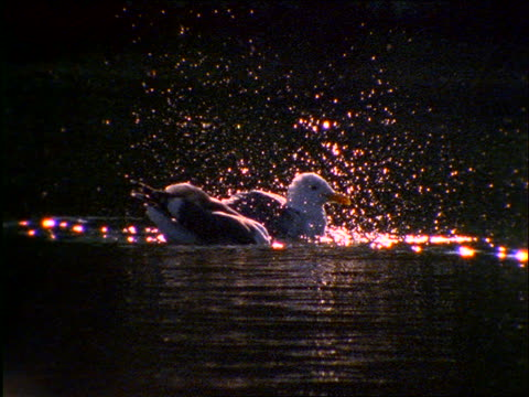 slow motion 2 seagulls bathing in water - aquatic organism stock videos & royalty-free footage