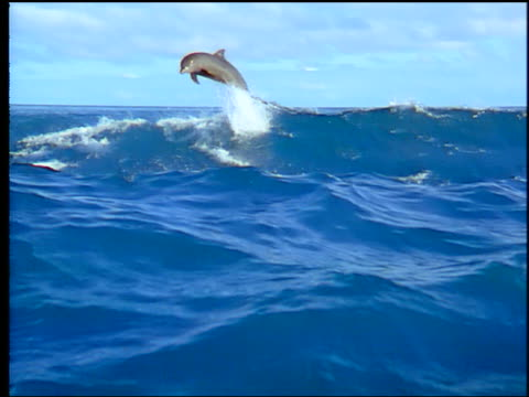 vídeos y material grabado en eventos de stock de slow motion 3 dolphins leaping from + diving into large ocean waves / moorea, tahiti - polinesia francesa