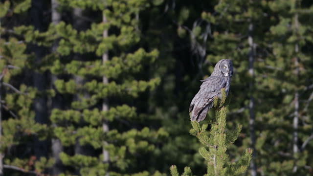 ts (slow motion) 4k  shot of a great gray owl  (strix nebulosa) flying - great gray owl stock videos & royalty-free footage