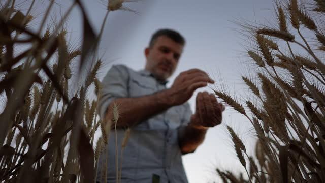 vídeos de stock, filmes e b-roll de câmera lenta mão de um fazendeiro segurando grãos de trigo em um campo de trigo - vista de baixo para cima