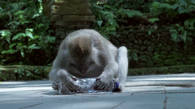 Slow Motion: Adorable Monkey Drinking From Side of Plastic Bottle