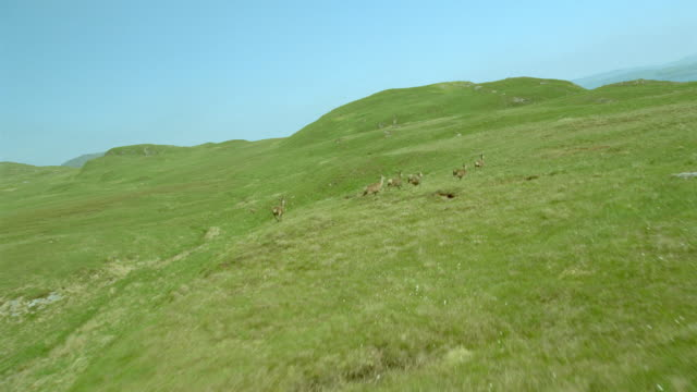 slow motion AERIAL airplane point of view group of deer running on moors / Isle of Jura, Western Isles, Scotland