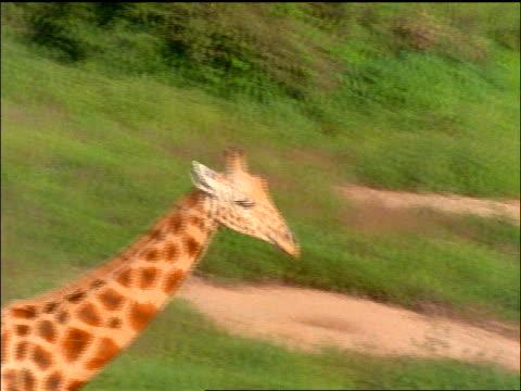 slow motion aerial close up tracking shot giraffe running thru green grass - 草食性点の映像素材/bロール