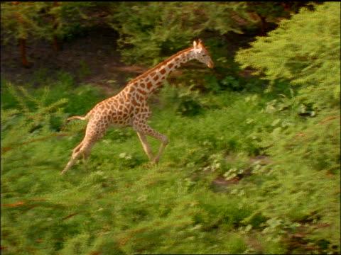 vídeos de stock, filmes e b-roll de slow motion aerial giraffe running thru green trees - girafa