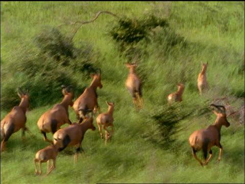slow motion aerial herd of sassabies running thru green grass - antilope stock-videos und b-roll-filmmaterial