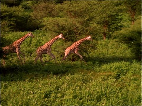 slow motion aerial of 3 giraffes running on plain - giraffe stock videos & royalty-free footage