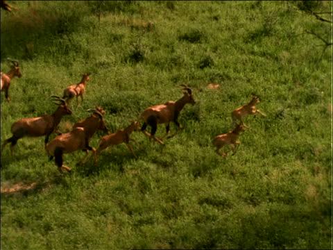 slow motion aerial of herd of topi running on plain - antilope stock-videos und b-roll-filmmaterial