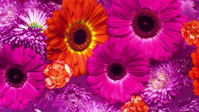 slow motion and close up, a group of vivid colored flower heads bouncing and splattering on pink background - carnation flower stock videos & royalty-free footage